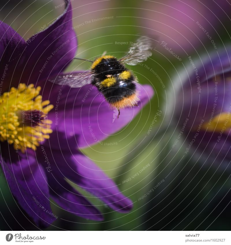 Brummer on approach Environment Nature Plant Animal Spring Flower Blossom Wild plant Anemone Garden Wing Bumble bee Insect Blossoming Fragrance Flying Yellow