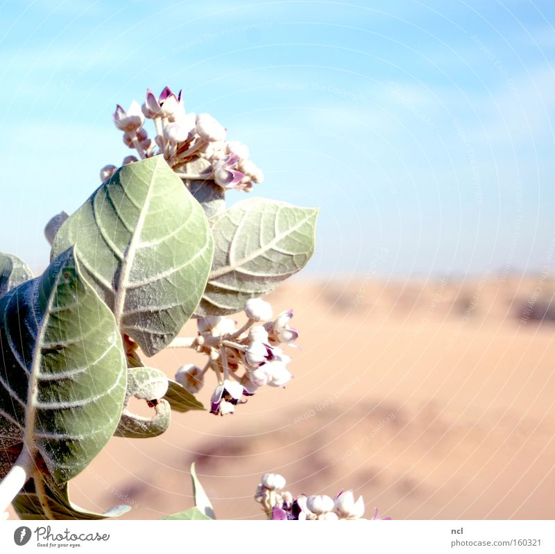 desert flower Desert Flower Sky Drought Hot Sun Sand Plant Blossom Dry Blossoming Far-off places Asia Earth