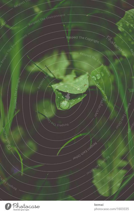 Wet times Environment Nature Plant Drops of water Autumn Rain Grass Leaf Foliage plant Wild plant Dandelion Meadow Authentic Dark Fresh Natural Green Dew