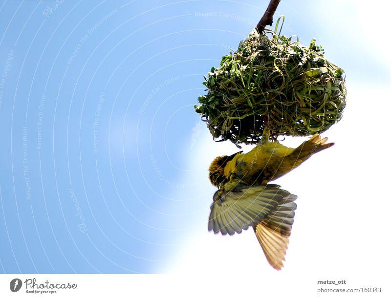Yellow Bird Aviation Feeding Feed Nest Eyrie Nesting place Nesting box Nest-building