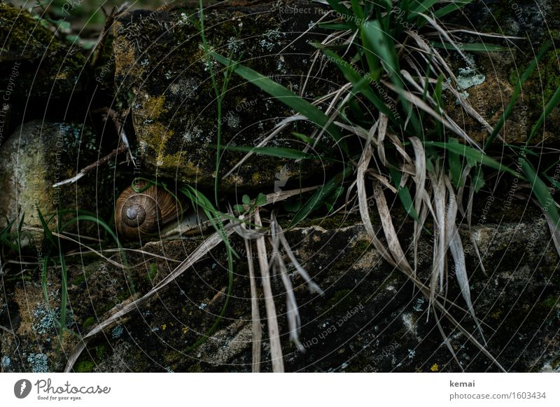 In hiding Environment Nature Animal Spring Grass Wall (barrier) Wall plant Stone wall Snail Snail shell Vineyard snail Large garden snail shell 1 Sit Old