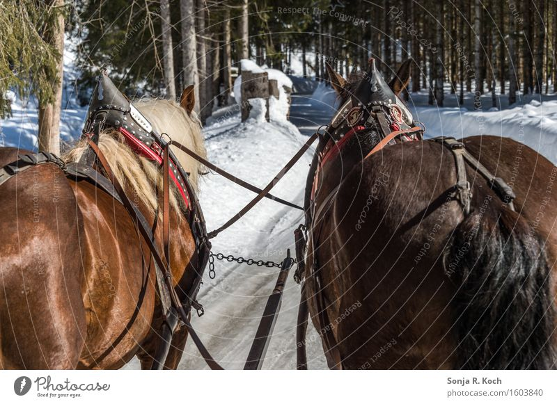 carriage ride Trip Winter Snow Winter vacation Nature Beautiful weather Lanes & trails Horse-drawn carriage Animal 2 Movement Relaxation To hold on Sit Brown