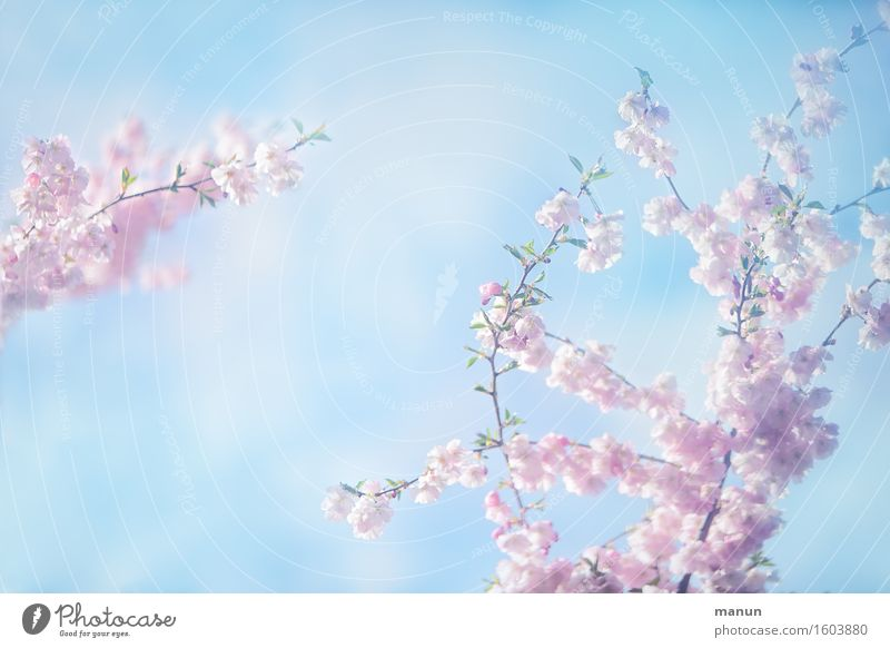a hint of spring Feasts & Celebrations Mother's Day Easter Nature Sky Spring Tree Blossom Spring flowering plant Spring day Spring colours Cherry blossom