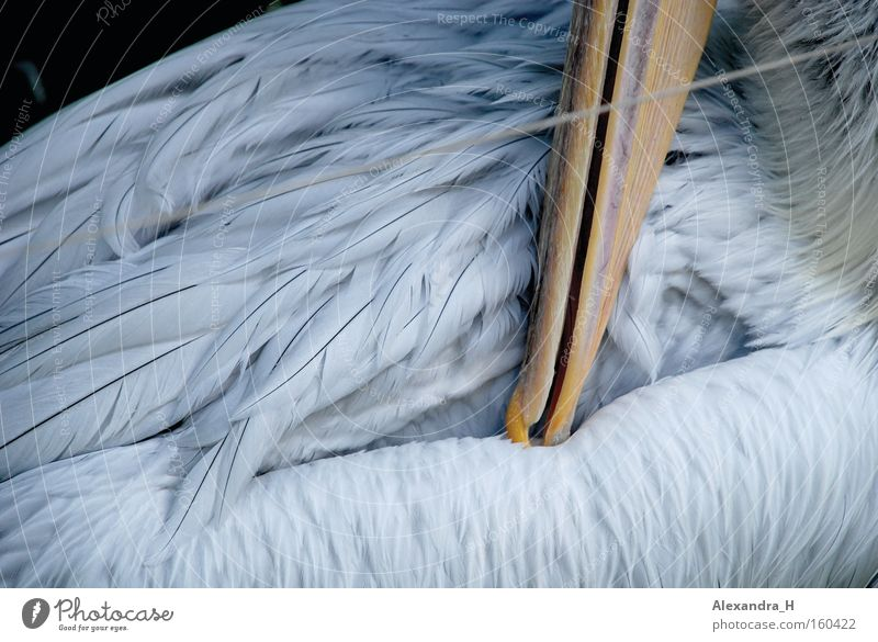 pelican Pelican Bird Feather Beak Ocean Fish Zoo