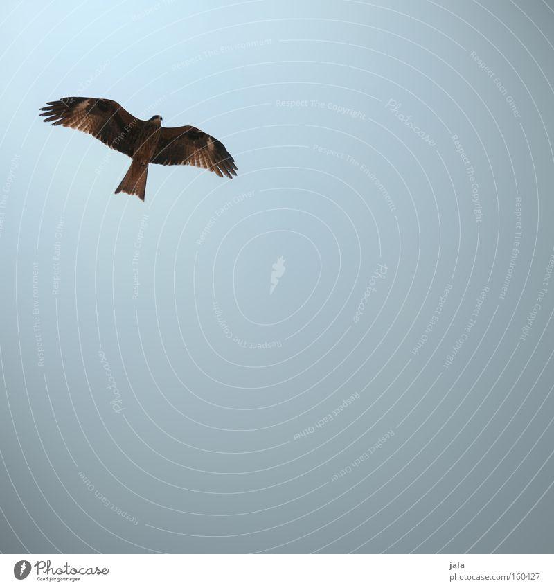 Sky Beach Animal Bird Coast Flying Aviation Hunting Kite Falcon Bird of prey Hawk Goshawk