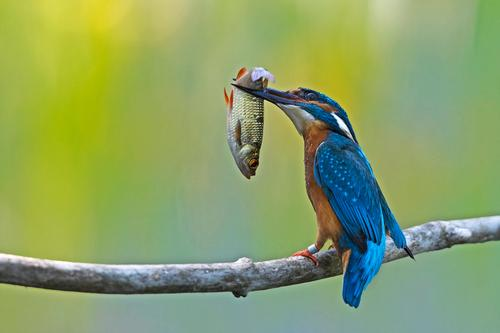 Animal Eating Bird Success Delicious Hunting Kingfisher