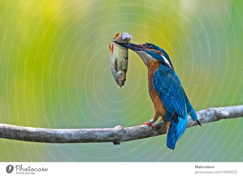 the catch Animal Bird 1 Eating Hunting Delicious Success Kingfisher Colour photo Multicoloured Exterior shot Day Deep depth of field