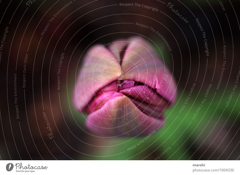 tulip Nature Plant Tulip Leaf Blossom Wild plant Green Violet Garden Blossoming Bud Spring Colour photo Exterior shot Close-up Detail Macro (Extreme close-up)