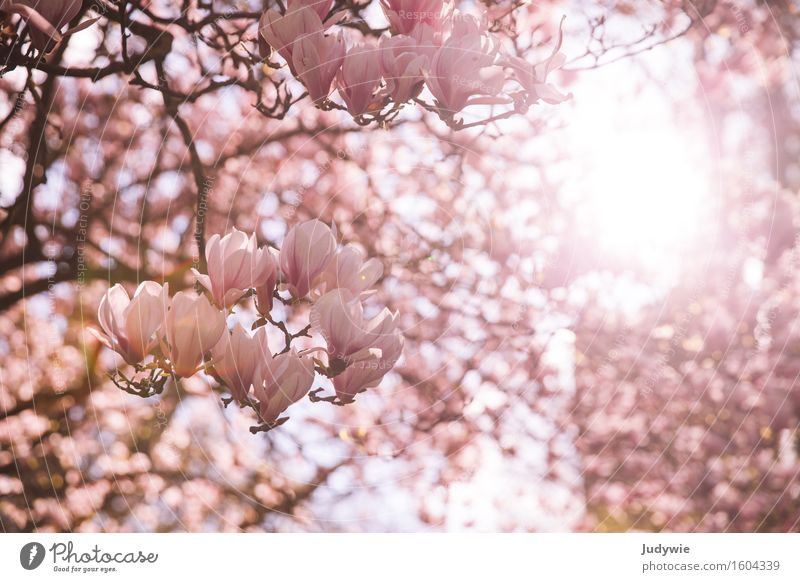 I like Nolien III. Environment Nature Sun Spring Summer Beautiful weather Plant Tree Bushes Blossom Magnolia plants Garden Park Bright Kitsch Pink Idyll Pure