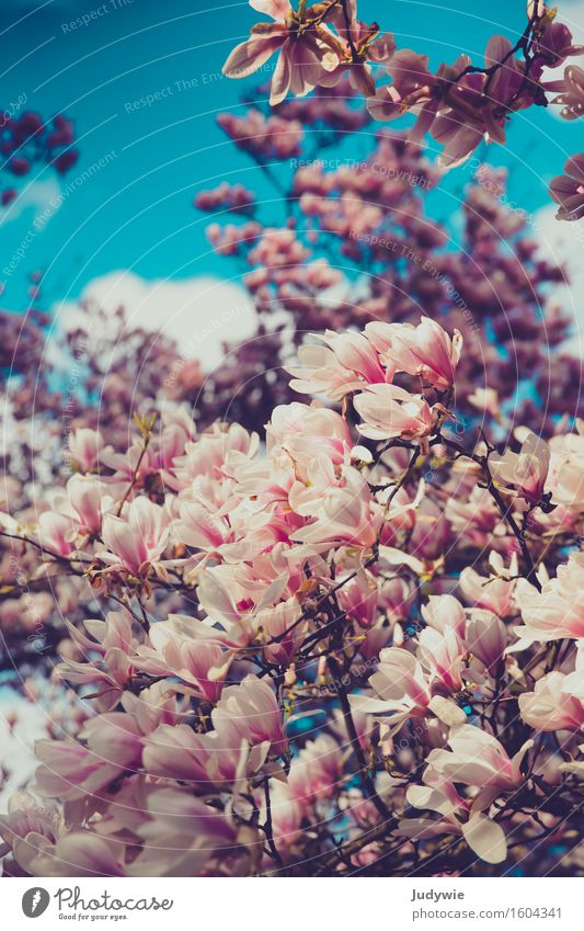 I like Nolien II. Environment Nature Sky Spring Summer Plant Tree Flower Magnolia plants Magnolia tree Magnolia blossom Garden Park Blossoming Kitsch Natural