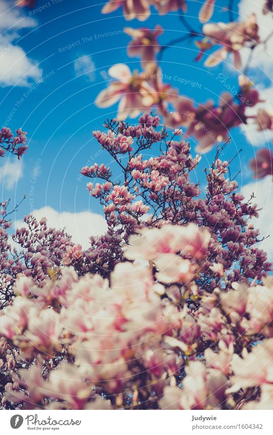 Nature Plant Blue Beautiful Tree Flower Environment Blossom Spring Garden Pink Park Growth Blossoming Kitsch Pure