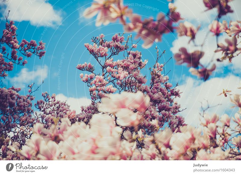 i like nolien Environment Nature Plant Sky Clouds Spring Beautiful weather Blossom Magnolia tree Magnolia blossom Park Kitsch Natural Magnolia plants Idyll