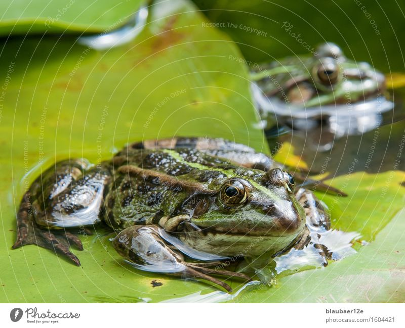 frog on leaf Animal Wild animal Frog 2 Water Animal tracks Green Colour Serene Nature Colour photo Exterior shot Deserted Day Sunlight Animal portrait Looking
