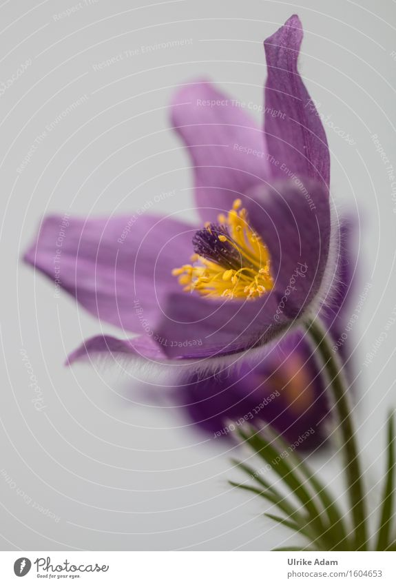Nature Plant Beautiful Flower Yellow Spring Blossom Garden Park Wild Decoration Blossoming Soft Violet Card Delicate