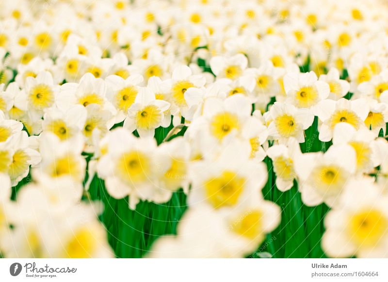 Nature Plant White Flower Yellow Spring Blossom Garden Design Park Elegant Decoration Happiness Blossoming Joie de vivre (Vitality) Beautiful weather