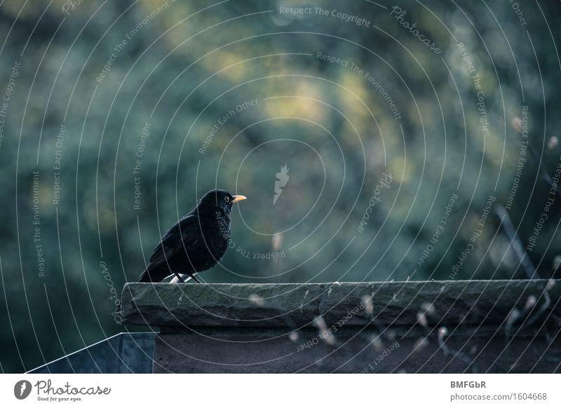 Lonely Blackbird Animal Wild animal Bird 1 Sit Emotions Sadness Grief Death Longing Wanderlust Loneliness Popular belief Apocalyptic sentiment Nostalgia