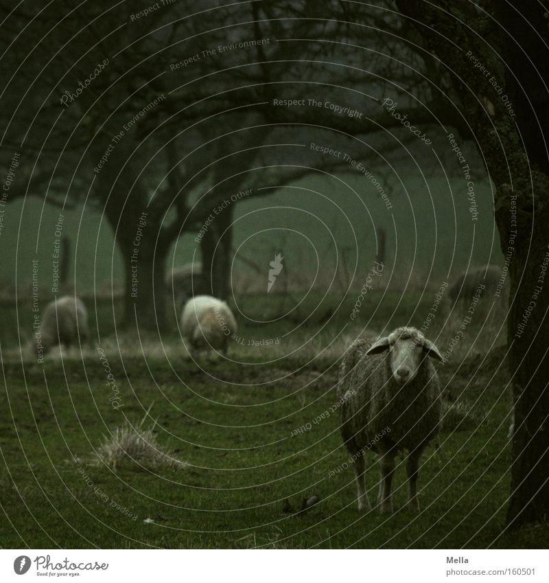 Full of sheep Sheep Pasture Meadow To feed Tree Dreary Gloomy Dark Bad weather Green Looking Mammal
