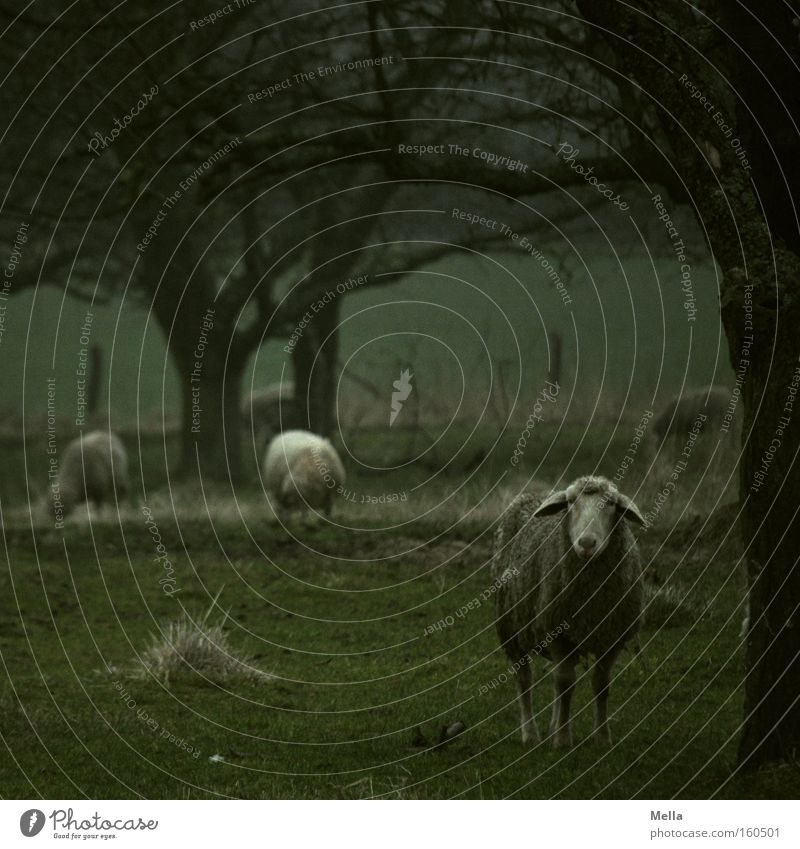 Tree Green Dark Meadow Gloomy Pasture Sheep To feed Mammal Animal Dreary Bad weather