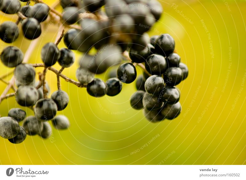 Tree Green Plant Black Autumn Healthy Bushes Berries Poison Bunch of grapes October Fruit Elder
