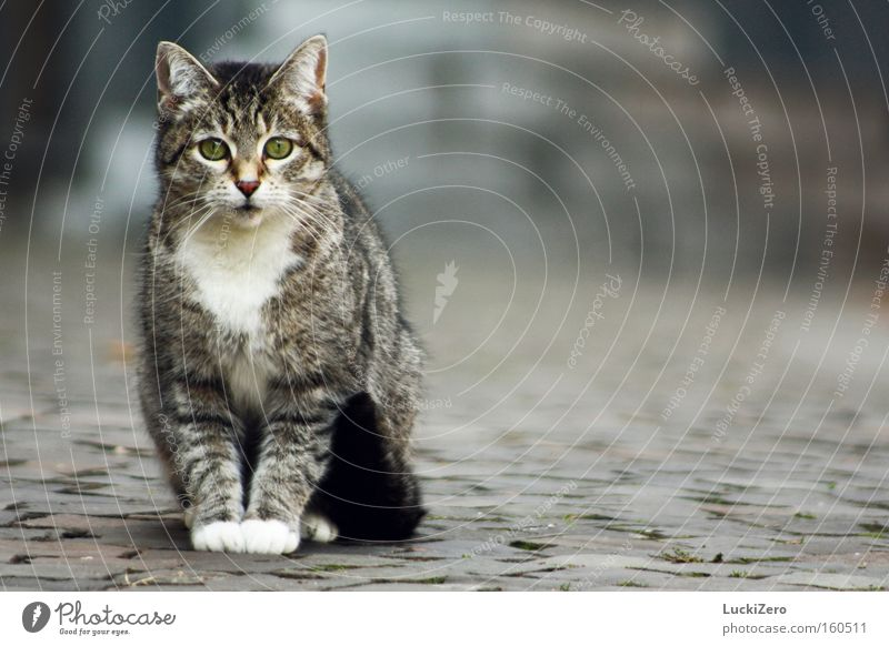 Cat White Green City Loneliness Eyes Cold Gray Cobblestones Paw Mammal Tails Gloves Obedient Animal