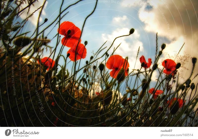 poppy seed-amour Poppy Red Corn poppy Summer Meadow Blossom Perspective Sky Blue Clouds Flower Plant Nature Blade of grass