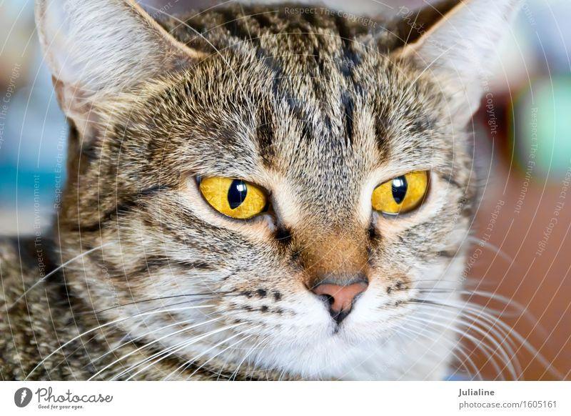 Photo of cat portrait Animal Moustache Pet Cat 1 Stripe Yellow Gray Mammal eye whiskers sideburns Colour photo