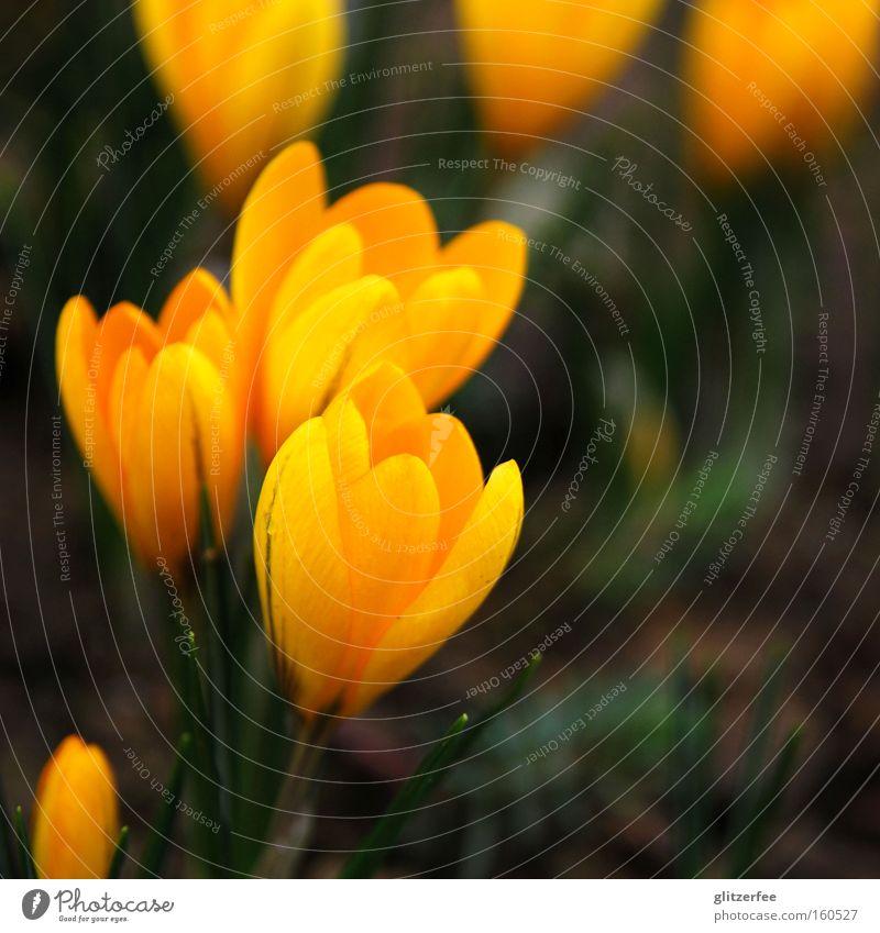 Flower Green Plant Joy Yellow Blossom Spring Ground Bud Wake up Crocus Onion Spring flower