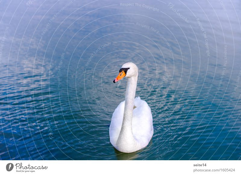 Swan. Lake. Blue. Water Swimming & Bathing Float in the water White Animal Harmonious Copy Space left Copy Space right Graceful Elegant Bird Body of water