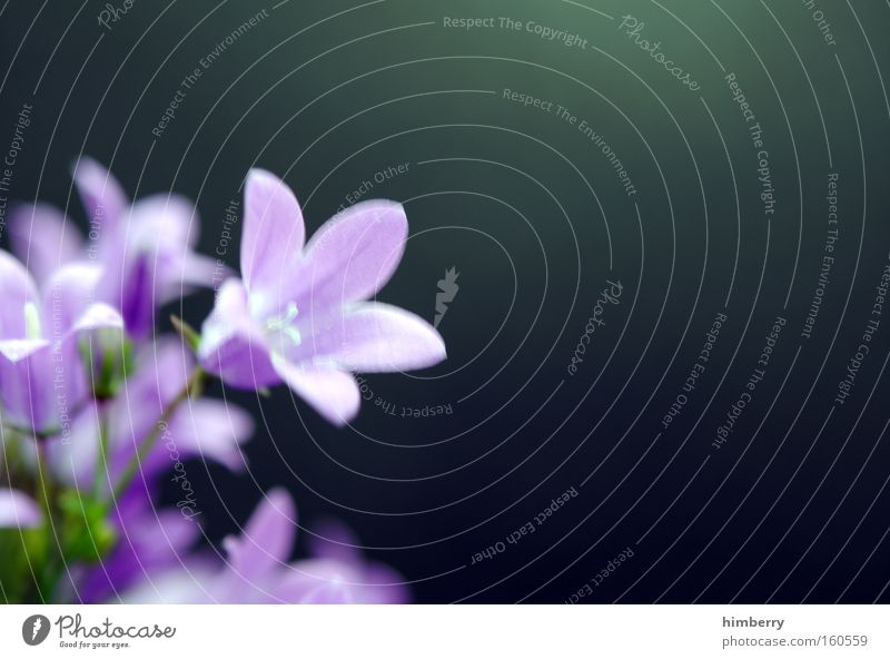 Nature Plant Flower Spring Blossom Background picture Fresh Violet Botany Floristry Horticulture