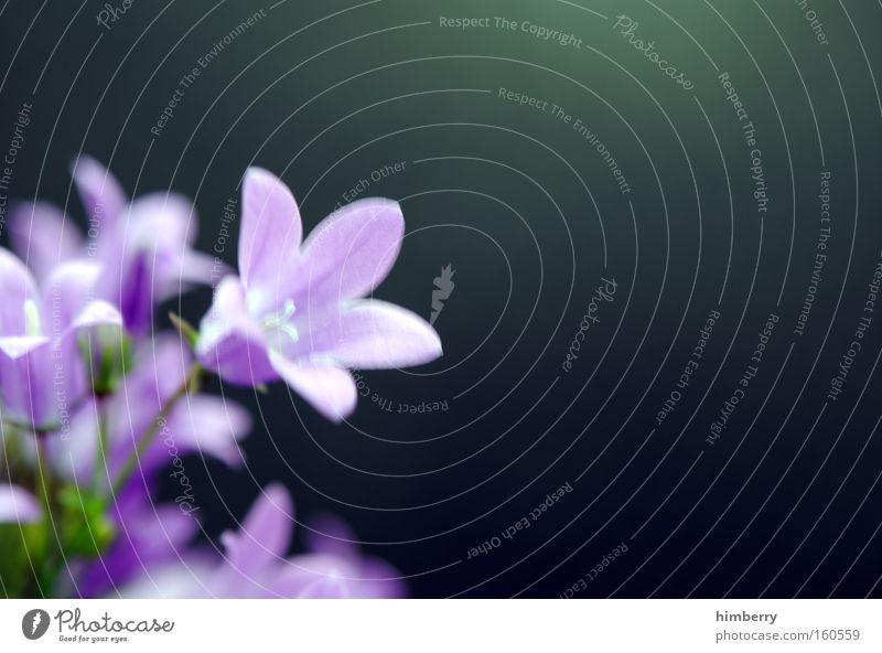 Nature Plant Flower Spring Blossom Background picture Fresh Violet Botany Floristry Horticulture