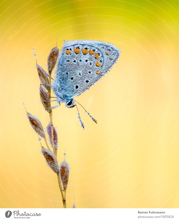A Hauhechel blue in the morning dew Nature Animal Butterfly 1 Yellow Colour photo Exterior shot Macro (Extreme close-up) Morning Sunlight