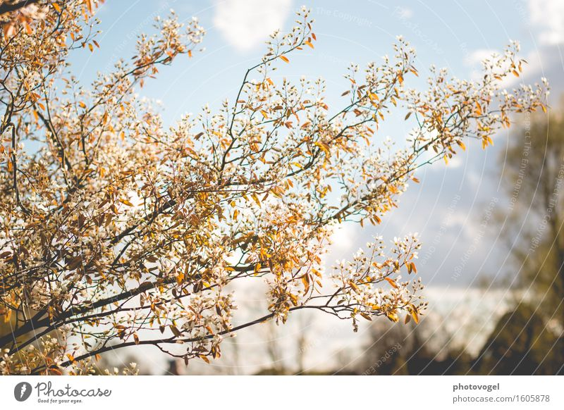 Rock pear in blossom Environment Nature Plant Sky Clouds Spring Tree Bushes Leaf Blossom rock pear Garden Warmth Blue Brown White Joy Happy Happiness
