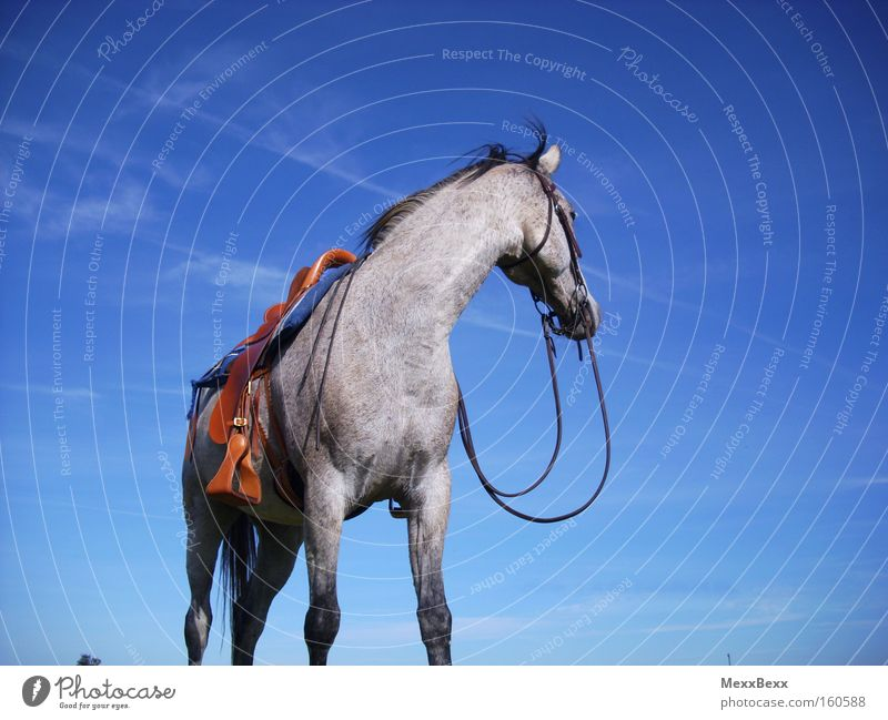 summer Equestrian sports Ride Horse Sky Wind Blue Gray (horse) Summer Freedom Mammal