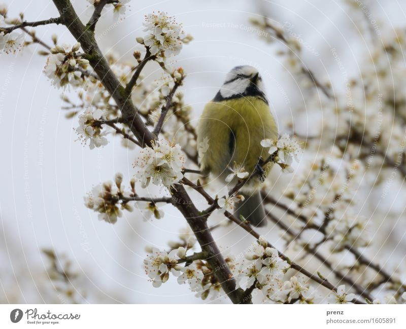 Nature Plant Animal Environment Yellow Blossom Spring Gray Bird Wild animal Sit Branch Twig Cherry blossom Tit mouse Tit mouse
