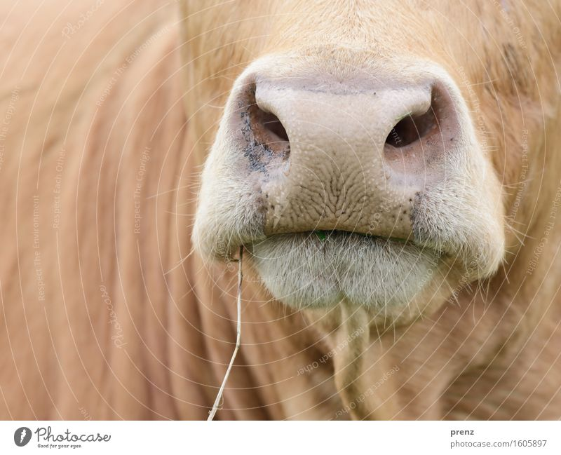 outing Environment Nature Animal Farm animal Cow 1 Brown Boredom Cattle Muzzle Agriculture Dairy cow Blade of grass Colour photo Exterior shot Close-up Detail
