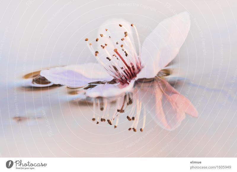 Beautiful Water White Spring Blossom Happy Pink Glittering Illuminate Esthetic Beginning Blossoming Joie de vivre (Vitality) Transience Romance Longing
