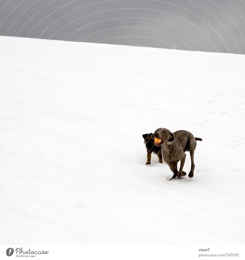 Dog Winter Joy Cold Snow Playing Friendship Walking Ball Racing sports Mammal Ball sports Virgin snow Terrier Weimaraner