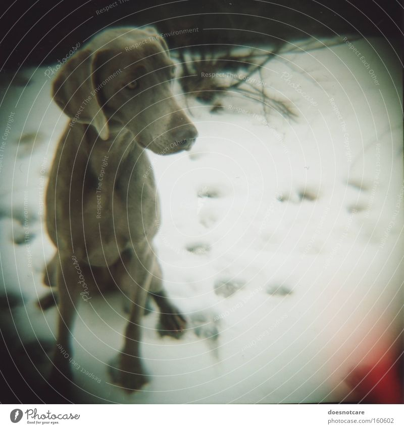 some days are darker than others. Winter Snow Animal Pet Dog 1 Beautiful Cold Cute Gray White Weimaraner Analog Roll film Hound Mammal Vignetting Colour photo