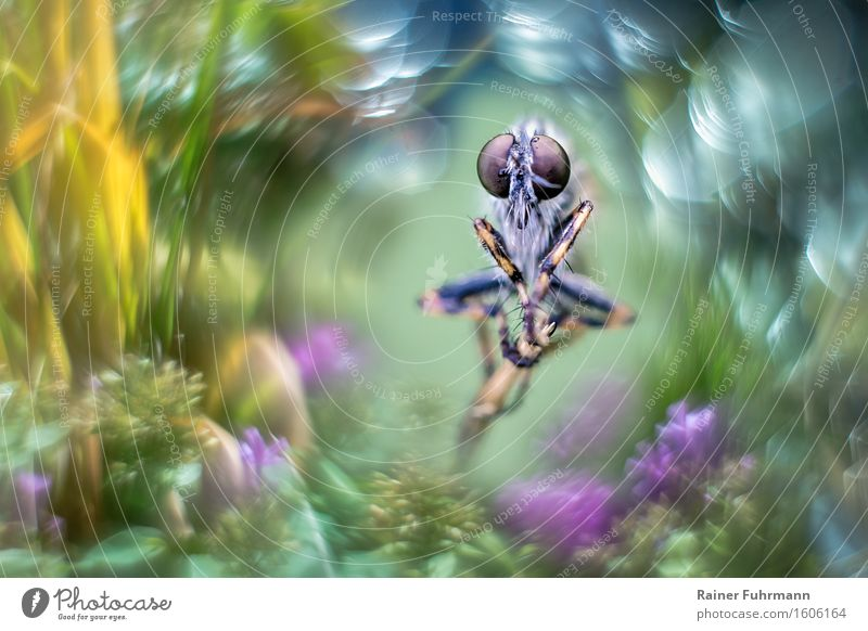 A robber fly sits in nature, framed by strong bokeh Animal Fly 1 Blossoming Flying To feed Beautiful Yellow Green Violet Nature Colour photo Exterior shot