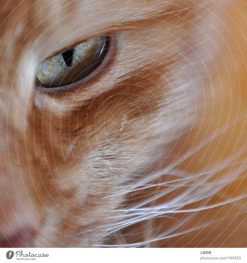 Eyes Cat Observe Pelt Evil Pet Mammal Domestic cat Threaten