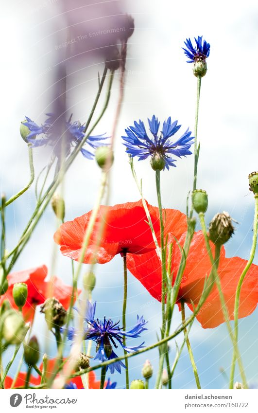 Sky Sun Blue Red Summer Meadow Blossom Perspective Flower Poppy Cornflower Corn poppy