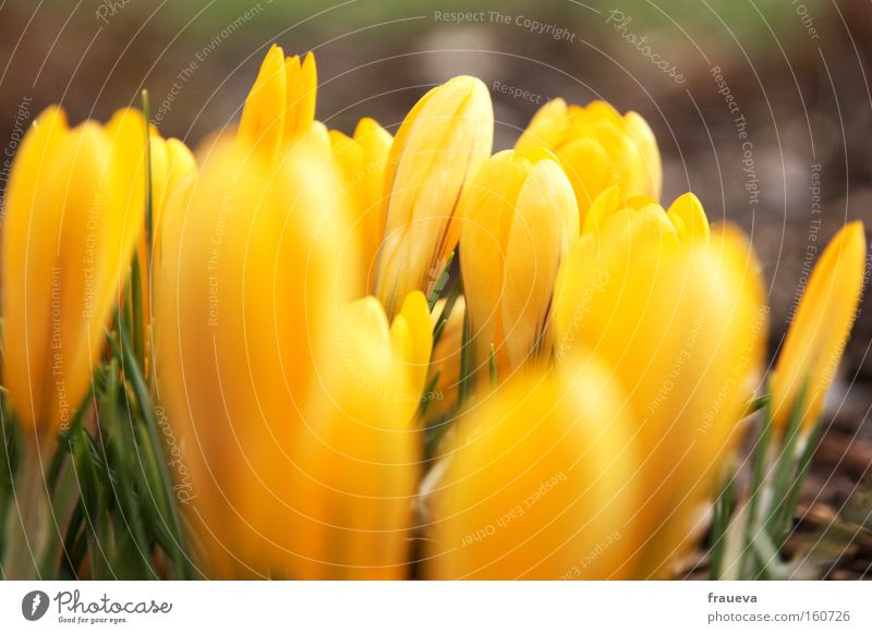 spring awakening Flower Yellow Crocus Wake up Spring Blossoming Growth Sprout Spring fever Green Colour yolk Exterior shot