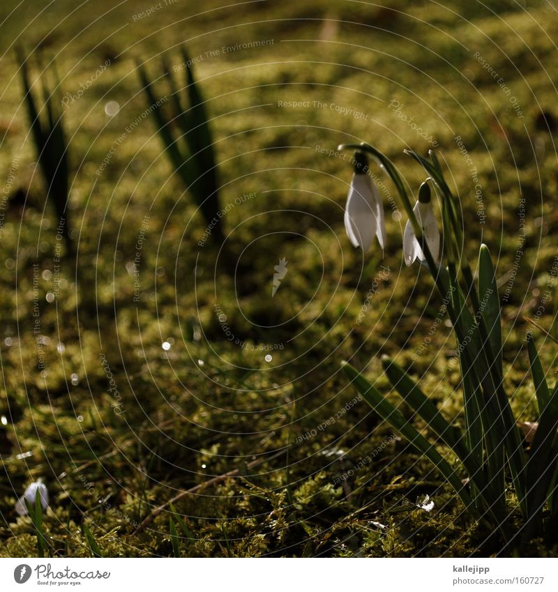 Flower Meadow Spring Park Growth Blossoming Fragrance Seasons Moss Garden Bed (Horticulture) March Snowdrop Sprout Rung Spring flower Spring day