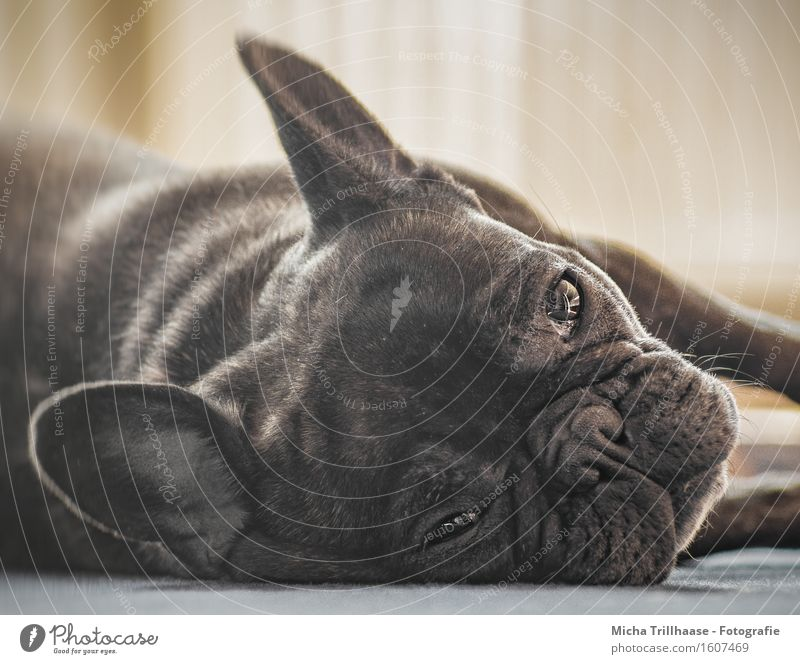 relaxation Relaxation Calm Nature Animal Sunlight Pet Dog Animal face Pelt 1 Observe Glittering To enjoy Lie Looking Sleep Natural Cute Contentment