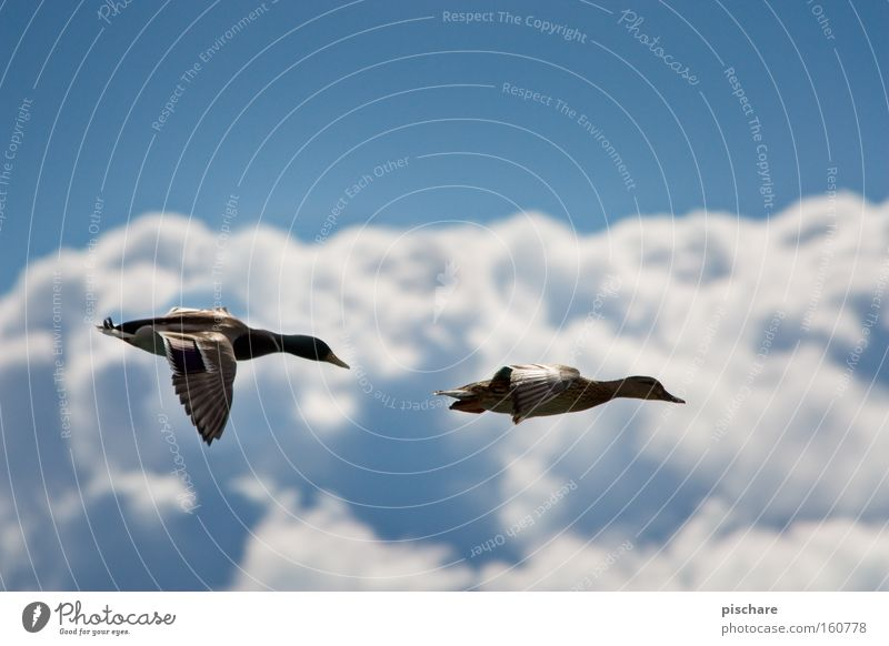 Sky Nature Blue Clouds Animal Freedom Bird Flying Pair of animals In pairs Aviation Wing Feather Duck Aerial photograph Drake