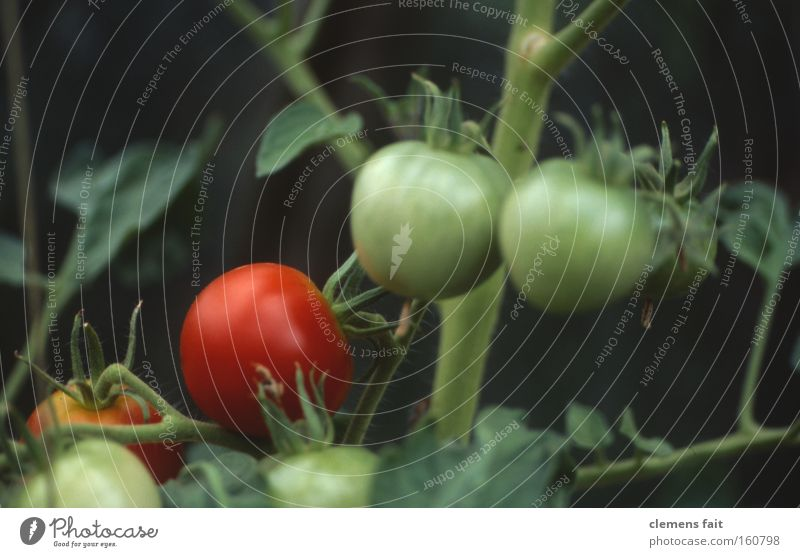 Tomato healthy Greenhouse Red Vegetable Healthy Macro (Extreme close-up) Mature Immature Garden Nutrition Old Stalk