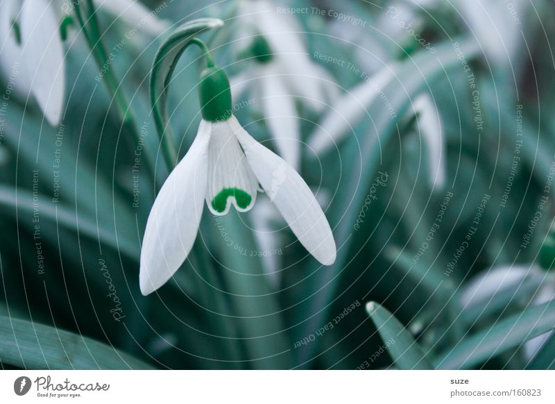 Nature Plant White Spring Blossom Blossoming Fragrance Blossom leave Spring fever Bell Wake up Suspended Flower Snowdrop Flower stem Eranthis hyemalis
