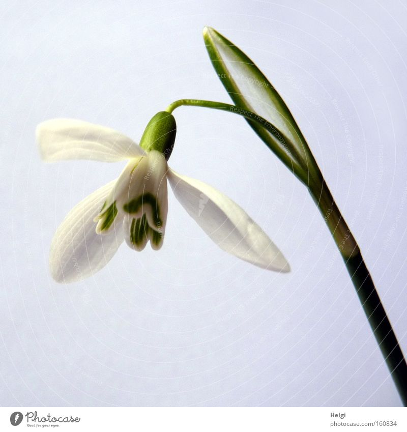 Nature White Flower Green Blossom Spring Park Stalk Blossoming March Snowdrop