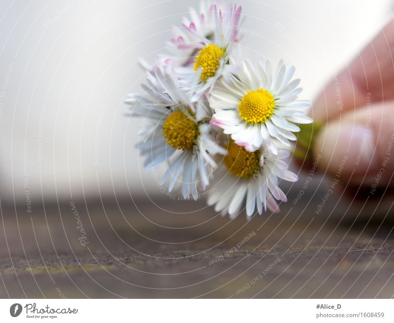 daisy bunches Nature Plant Spring Summer Flower Blossom Daisy Sign Blossoming Exceptional Simple Friendliness Beautiful Kitsch Natural Yellow White Sympathy