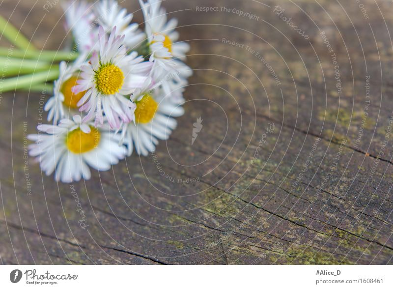 Bouquet of daisies on weathered wood Nature Plant Spring Flower Moss Blossom Wild plant Garden Wood Old Esthetic Exceptional Beautiful Kitsch Natural Retro